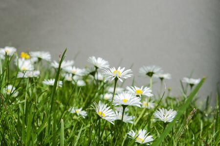 daisie: Group of bellis perennis on a lawn