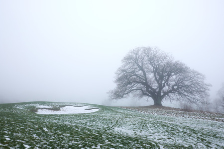 big leaveless oak tree standing on a snowy golf course  in misty weather Stock Photo