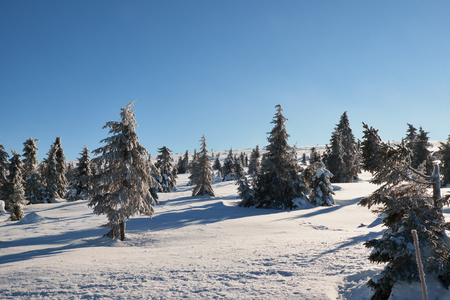 pine trees in the sun on a snow covered hafjell top
