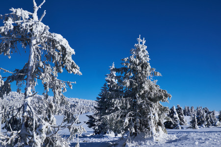 bended: pine trees with snow covered heavy bended branches