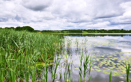 Fresh reeds standing at the shore of lake Sjaelsoe in Birkeroed Denmark, where water lilies are floating on the water surface