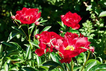 anther: Flower bed with paeonia lactiflora, or common garden peony, with red petals and yellow anther