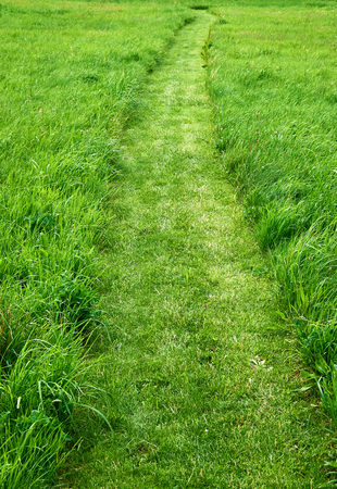 cut grass: Path cut with a lawn mower in a field of long fresh growing green grass