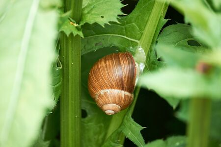 Big snail with a brown shell, sitting on a stem of a green plant in a wilderness