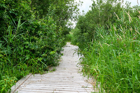 Reeds and trees surrounding a footpath of wood planks, leaving only a small space to walk on