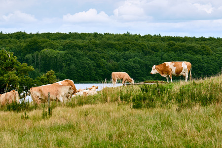 Herd of brown spotted dairy cows standing on a green field of rough grass, near the lake Sjaelso in Birkeroed Denmark