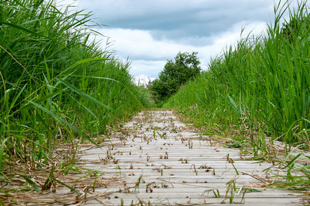 Pier footpath made of wood planks over a wetland between high green reeds