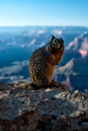 Squirrel posing on the south rim of the Grand Canyon Stockfoto
