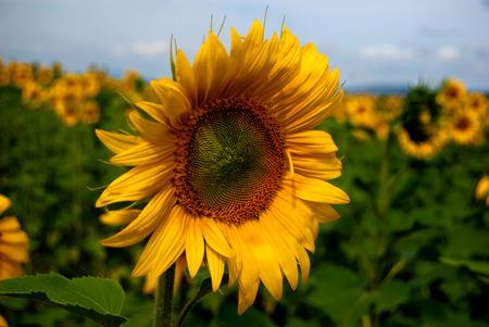 Sunbathing sunflower Stockfoto