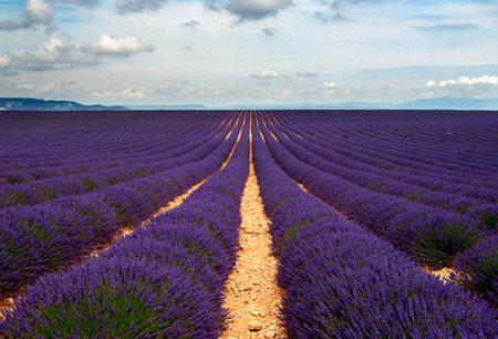 Purple lavender fields in the Provence, France