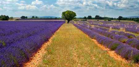 Lonely tree in the lavender fields in the Provence, France