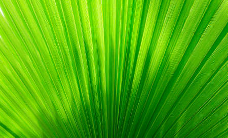 Bright summer tropical background with an enlarged leaf of a palm tree Washingtonia close-up with copy space. Tropical design template for invitations, banners, discounts and summer sales.