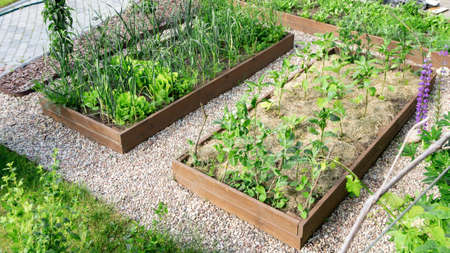 DIY raised wooden beds in the garden landscape design. Mulch from mowed grass on the beds to improve soil fertility. Growing organic vegetables in raised beds to the principles of organic farming. Standard-Bild