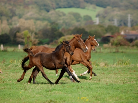 A herd of horses with foals canter loose across a field photo
