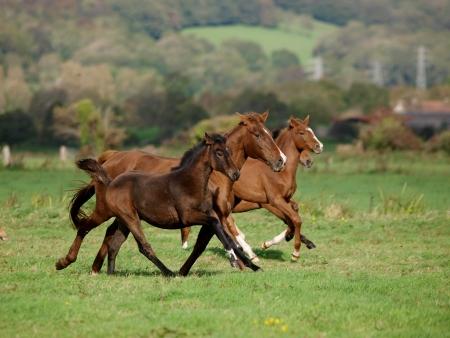 Een kudde paarden met veulens galopperen los over een veld Stockfoto