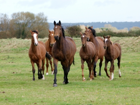 graze: A herd of horses with foals trot loose towards the camera