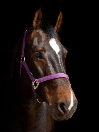 A head shot of a bay horse with white star and snip against a black background.