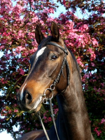 A headshot of a bay horse in a bridle against tree blossom Stock Photo