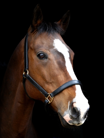 black horses: A head shot of a bay horse with a white blaze against a black background.