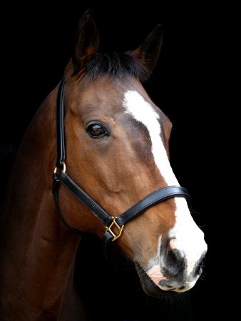 Een hoofd shot van een baai paard met een witte bles tegen een zwarte achtergrond. Stockfoto