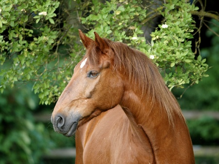 Een headshot van een kastanje paard met een ster tegen een boom.