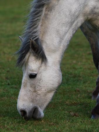 connemara: Grazing Connemara pony