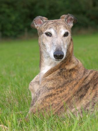 lies down: A greyhound lies down in a field of grass