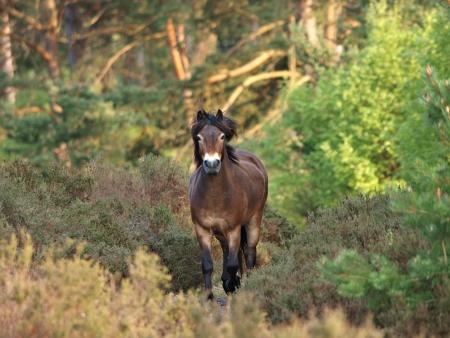 Een wilde Exmoor pony draaft door een bos