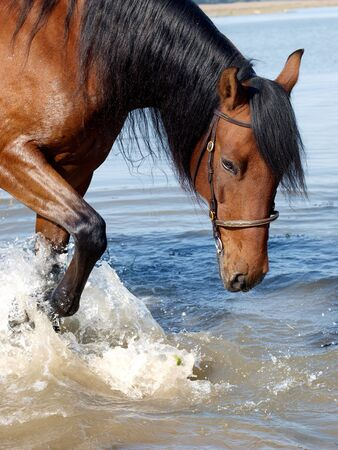 A Spanish horse splashes in a river photo