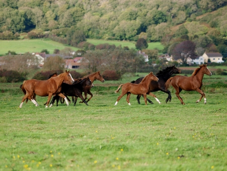 A herd of horses with foals canter loose across a field Stock Photo - 13758595