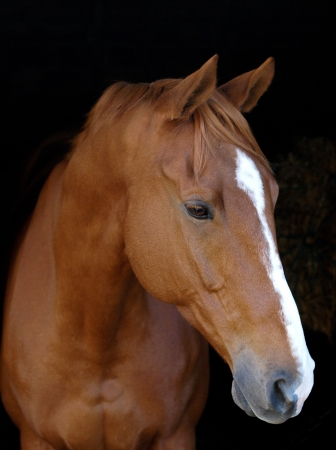 head shot: A head shot of a chestnut horse with a white blaze against a black background.