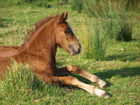 lies down: A Welsh foal lies down in a meadow