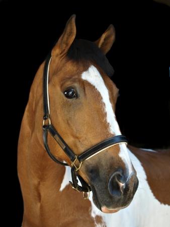 Een hoofd schot van een bonte paard met een halster tegen een zwarte achtergrond