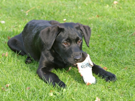 A black puppy chews a toy whilst laying on the grass Stock Photo - 13882566
