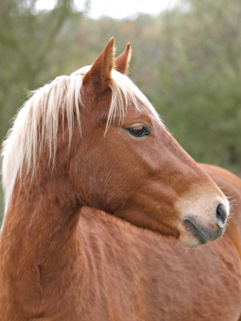 A head shot of a New Forest pony with a blonde mane. photo
