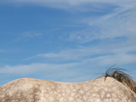 dapple horse: The back of a dapple grey horse against a big blue sky. Stock Photo