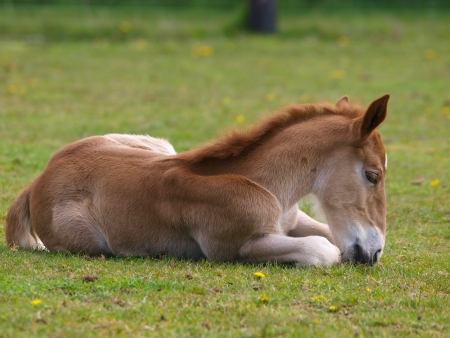 lays down: A Suffolk Punch foal lays down and nibbles at the grass
