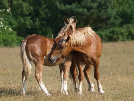 fondling: Two young Suffolk Punch horses groom each other in the paddock