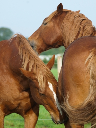 horses in field: Two Suffolk Punch horses groom each other in the paddock