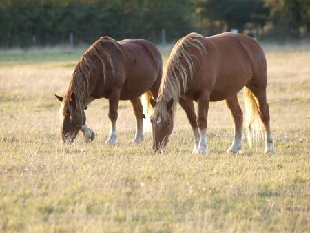 Twee Suffolk Punch paarden grazen in een paddock