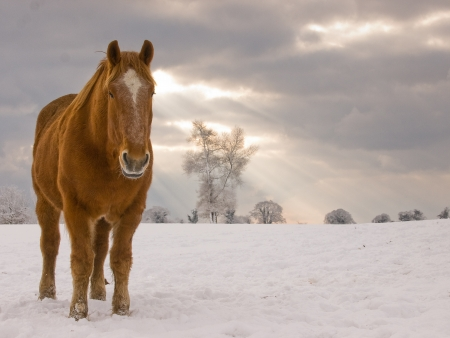 horse in snow: A single Suffolk Punch horse stands in a field of snow. Stock Photo