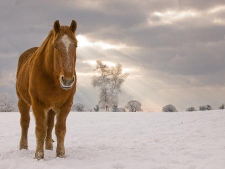 Een enkele Suffolk Punch paard staat in een veld van sneeuw.