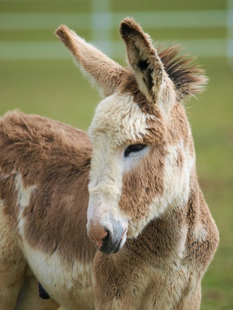 A head shot of an Amercian Mamouth Donkey foal photo