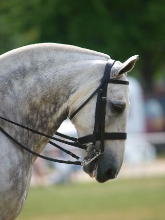 dapple grey: Dapple grey cob in double bridle