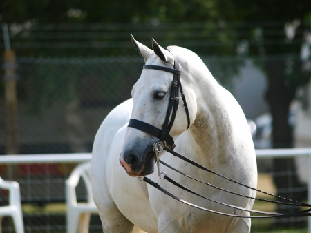 dapple horse: Grey cob in double bridle