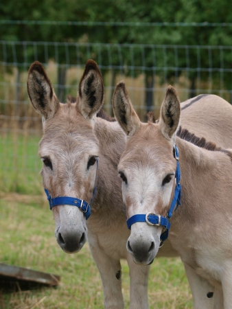 next to each other: A paif of donkeys stood next to each other in halters.