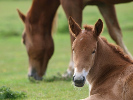 A cerca de un potro Suffolk Punch con su madre en el fondo photo