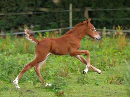 Een veulen loopt alleen in een weide. Stockfoto