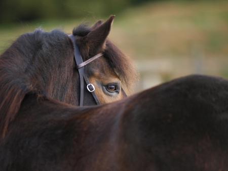 An abstract shot of the head of an Exmoor pony. photo