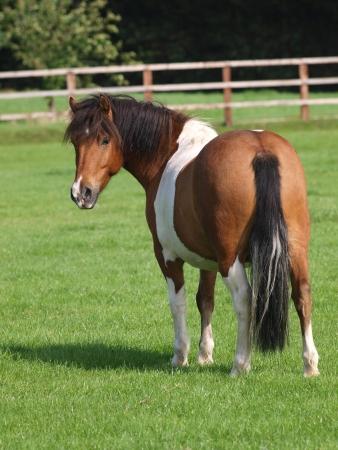 Een leuke bonte pony kijkt terug naar de camera.